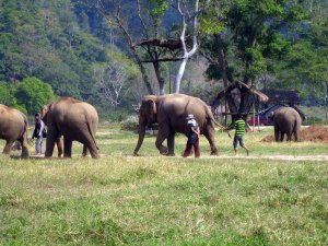 Mahout leads herd